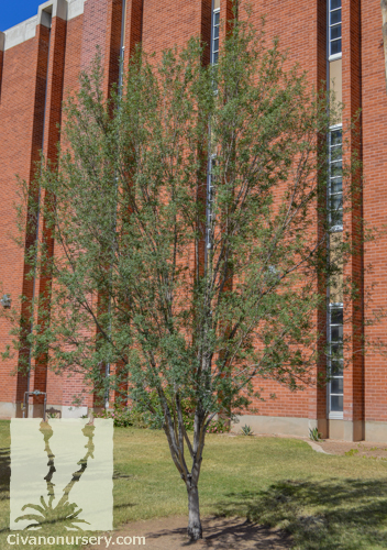 Little Leaf Ash Fraxinus Greggii Civano Nursery