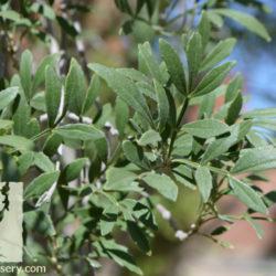 Fraxinus greggii