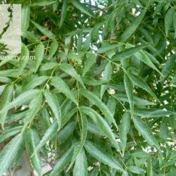 Fraxinus oxycarpa 'Raywood'