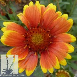 Gaillardia 'Arizona Sun'