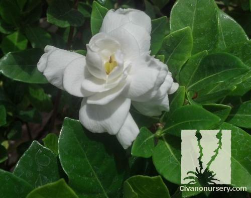 Everblooming Gardenia \u2013 Gardenia jasminoides \u0027Veitchii