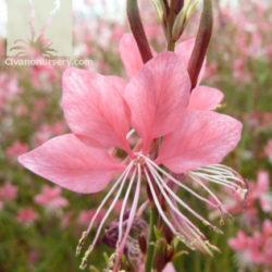 Gaura lindheimeri 'Pink Cloud'