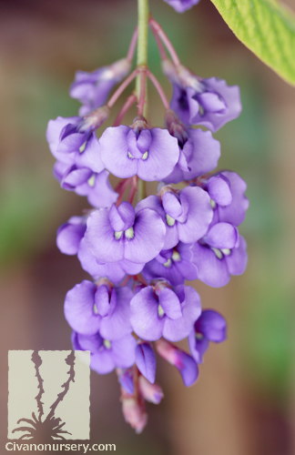 Purple Lilac Vine – Hardenbergia violacea – Civano Nursery