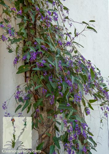 Purple Lilac Vine Hardenbergia Violacea Civano Nursery