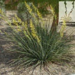 Hesperaloe parviflora 'Lutea'