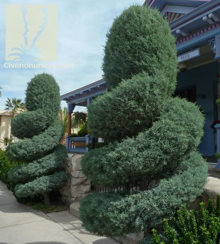 Blue Point Juniper – Juniperus chinensis 'Blue Point'   Civano