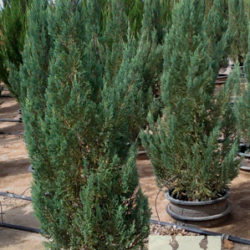 Juniperus chinensis 'Blue Point'