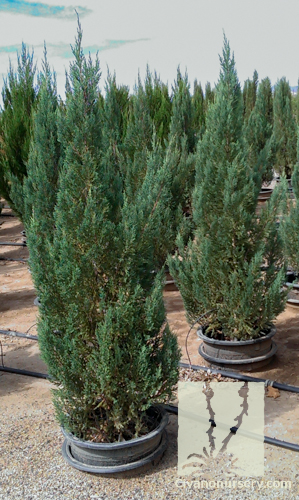 Blue Point Juniper – Juniperus chinensis 'Blue Point