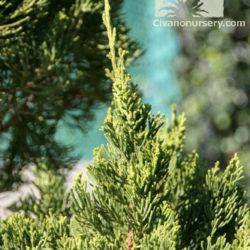 Juniperus chinensis 'Torulosa'