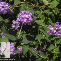 Lantana montevidensis 'Purple'