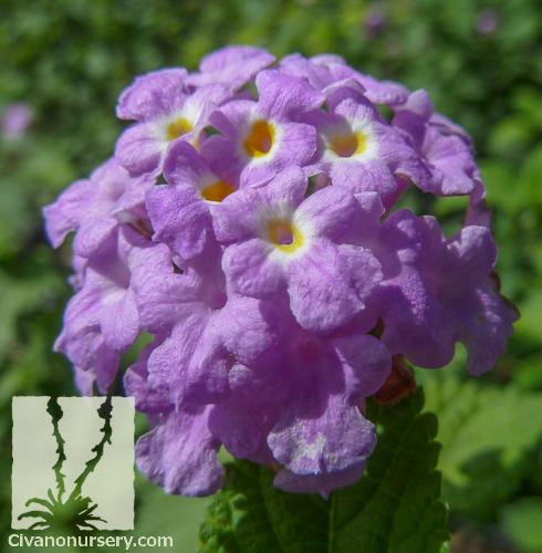 Trailing Purple Lantana Lantana Montevidensis Purple Civano