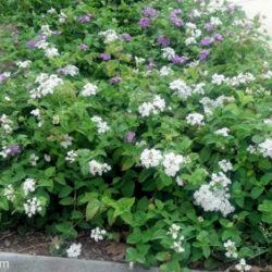 Lantana montevidensis 'White'
