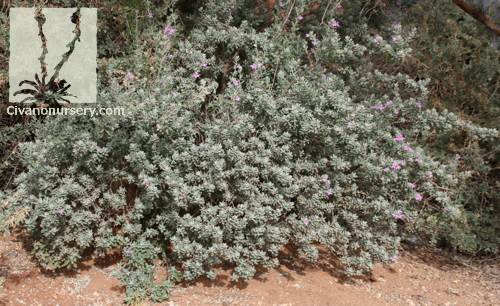 Compact Texas Ranger – Leucophyllum frutescens 'Compacta' – Civano ...