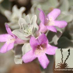 Leucophyllum frutescens 'Compacta'