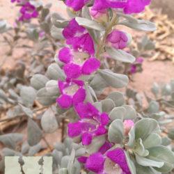 Leucophyllum frutescens 'Convent'