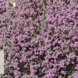 Leucophyllum frutescens 'Green Cloud'