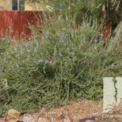 Leucophyllum laevigatum
