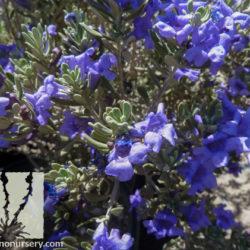 Leucophyllum revolutum