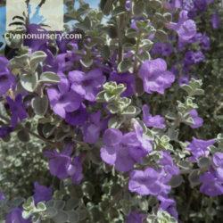 Leucophyllum zygophyllum