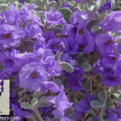 Leucophyllum zygophyllum 'Pecos Blue'