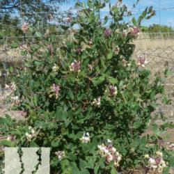 Lonicera japonica 'Purpurea'