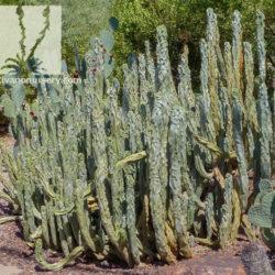 Lophocereus schottii monstrosus