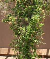 Mascagnia macroptera