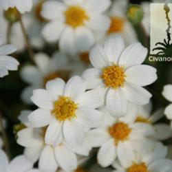 Melampodium leucanthum
