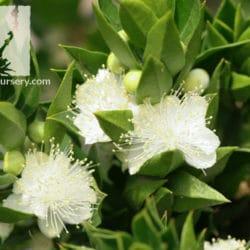 Myrtus communis 'Boetica'