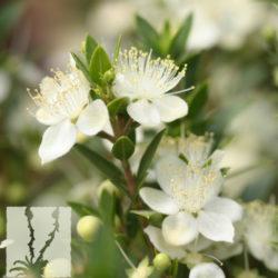 Myrtus communis 'Compacta'
