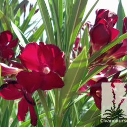 Nerium oleander 'Red'