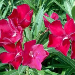 Nerium oleander 'Red'