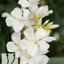 Nerium oleander 'White'