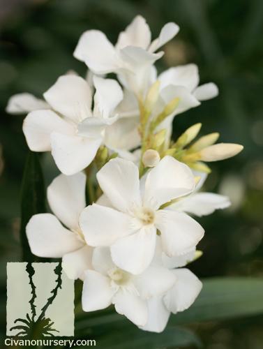 Dwarf white oleander nerium oleander little white civano nursery nerium oleander white nerium oleander white mightylinksfo