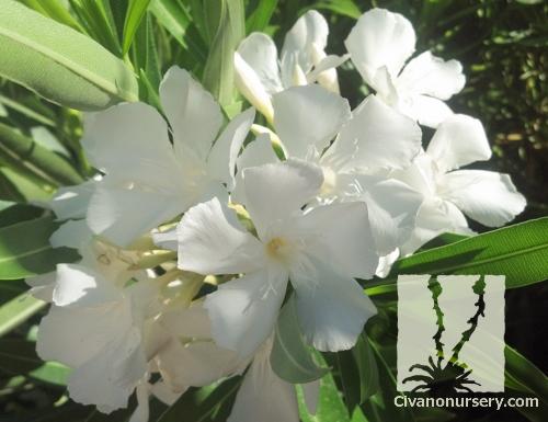 Dwarf white oleander nerium oleander little white civano nursery mightylinksfo