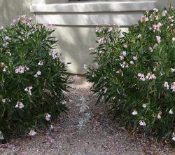 Nerium oleander 'Petite Pink'