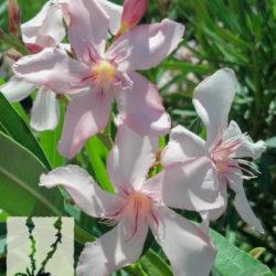Nerium oleander 'Pink'