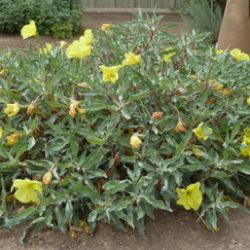 Oenothera macrocarpa 'Comanche Campfire'