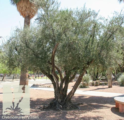 fruitless olive olea europaea wilsonii civano nursery. Black Bedroom Furniture Sets. Home Design Ideas