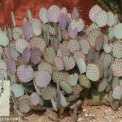 Opuntia violacea
