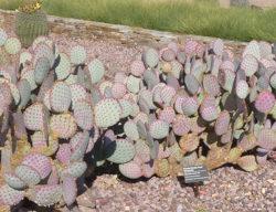Opuntia violacea 'Santa Rita'