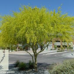 Parkinsonia hybrid 'Desert Museum'