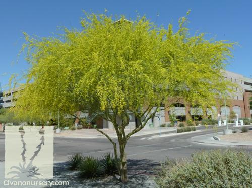 desert museum palo verde parkinsonia hybrid desert museum