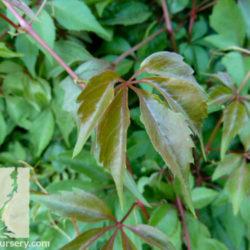 Parthenocissus sp