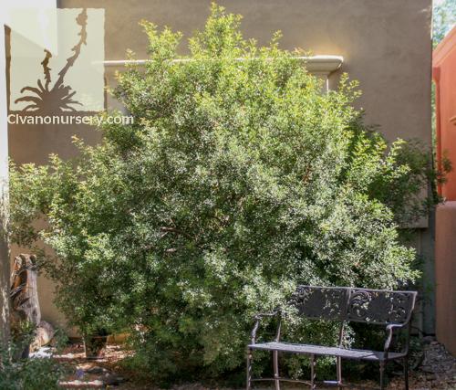 mastic tree  u2013 pistacia lentiscus  u2013 civano nursery