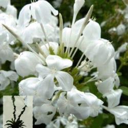 Plumbago auriculata 'Alba'