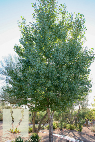 Western Cottonwood Populus Fremontii Civano Nursery
