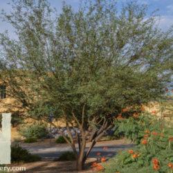 Prosopis hybrid 'Leslie Roy'