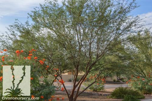 Leslie Roy Mesquite Prosopis Hybrid Leslie Roy Patent