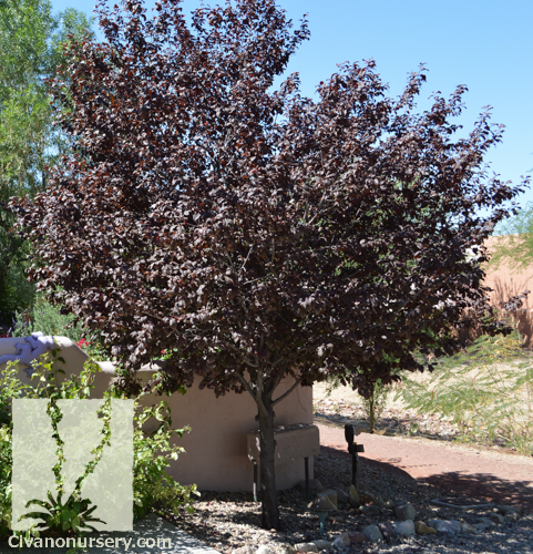 Purple Leaf Plum Prunus Cerasifera Krauter Vesuvius